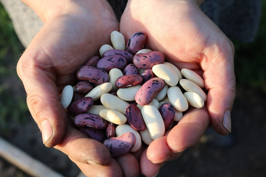 Legume beans in the hands